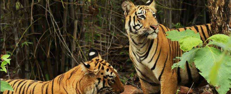 Tadoba for Wilds Tour India
