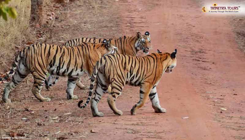 sariska-tiger-rajasthan