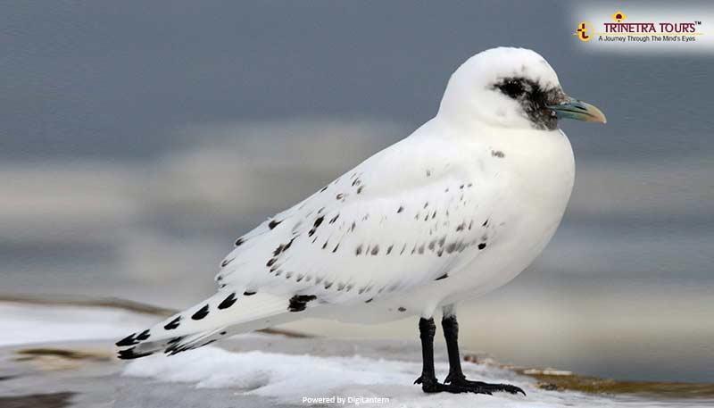Ivory-Gull